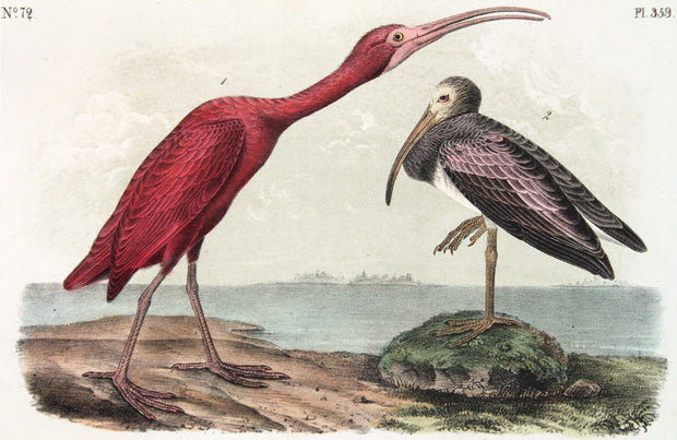 Scarlet Ibis by John James Audubon - Davidson Galleries
