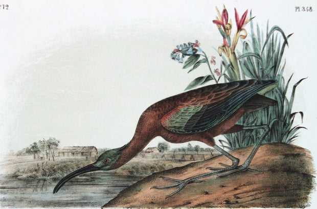 Glossy Ibis (72 / 358) by John James Audubon - Davidson Galleries
