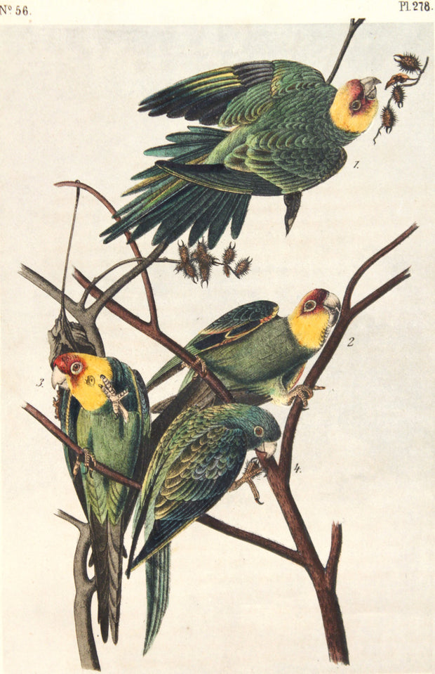 Carolina Parrot or Parrakeet by John James Audubon - Davidson Galleries