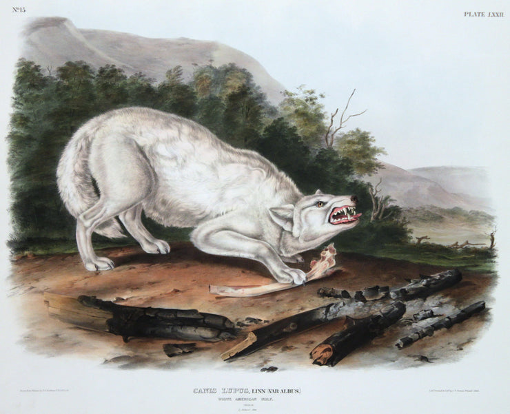 Canis Lupus, White American Wolf by John James Audubon - Davidson Galleries
