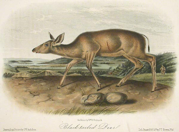 Black Tailed Deer by John James Audubon - Davidson Galleries