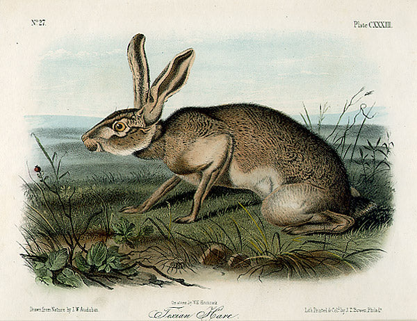 Texian Hare by John James Audubon - Davidson Galleries