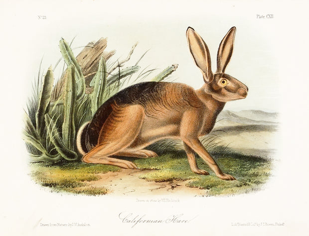 California Hare by John James Audubon - Davidson Galleries