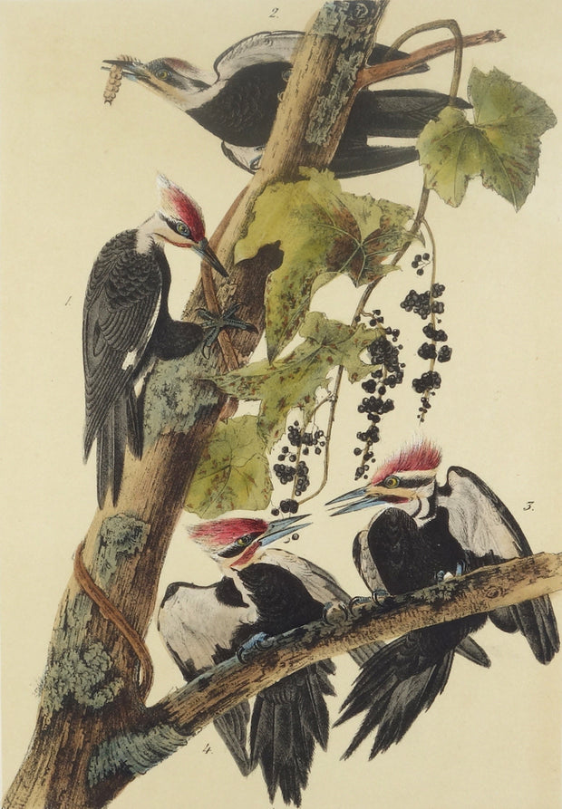 Pileated Woodpecker by John James Audubon - Davidson Galleries
