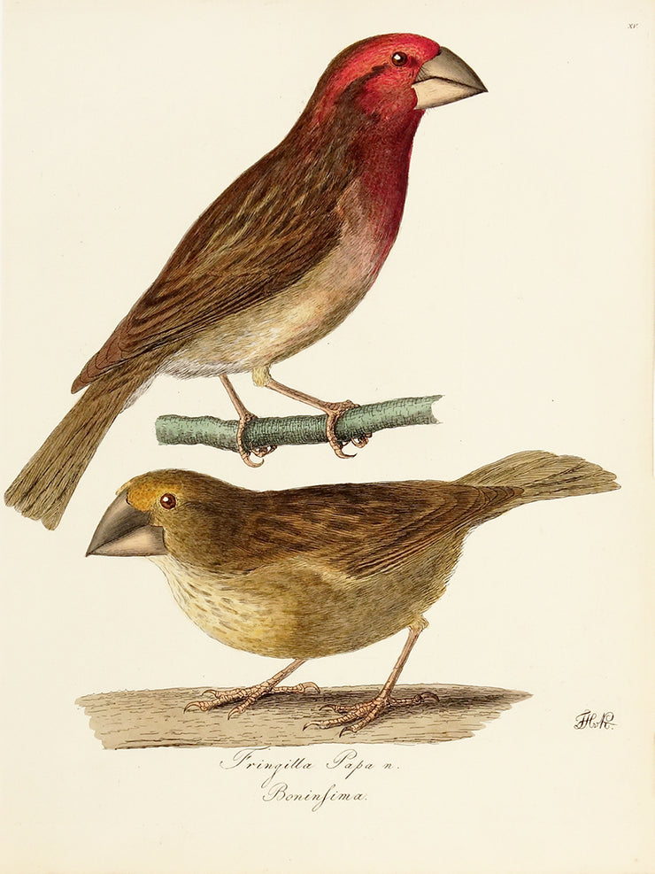 Fringilla Papa and Boninfima by Naturalist Prints (Birds) - Davidson Galleries