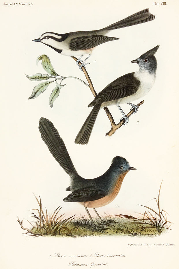 Plate VIII: Parus Montanus, Parus Inornatur, and Chamaea Fascinata by Naturalist Prints (Birds) - Davidson Galleries