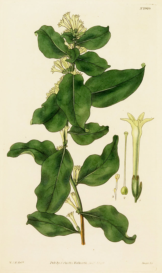 Cestrum by Naturalist Prints (Botanicals) - Davidson Galleries