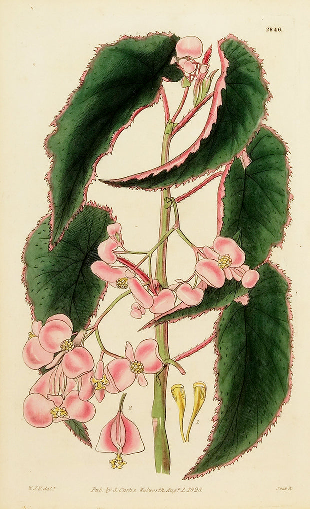 Begonia Papsilesa by Naturalist Prints (Botanicals) - Davidson Galleries