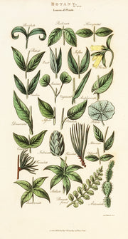 Leaves of Plants (set of three) by Naturalist Prints (Botanicals) - Davidson Galleries