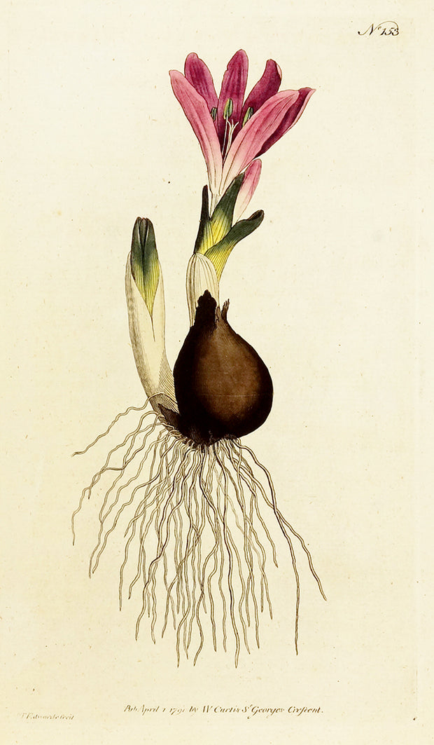 Vernal Bulbocodium by Naturalist Prints (Botanicals) - Davidson Galleries