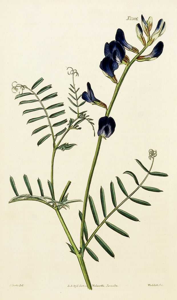 Saint-Foin Vetch by Naturalist Prints (Botanicals) - Davidson Galleries