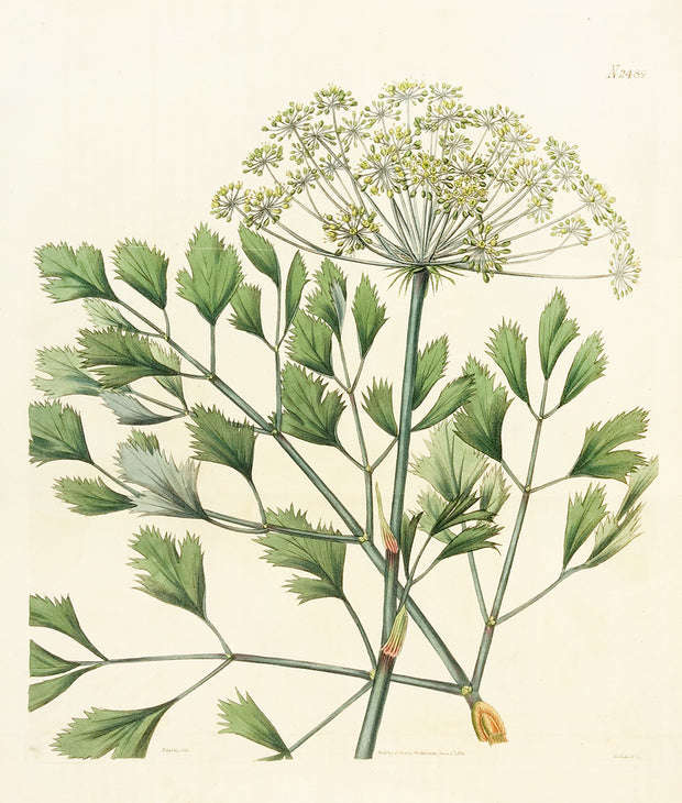 Lovage-Leaved Bubon by Naturalist Prints (Botanicals) - Davidson Galleries