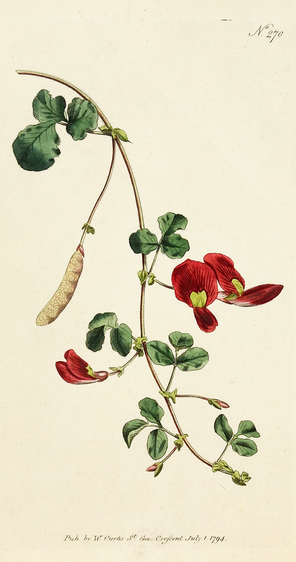 Scarlet Glycine (Sweet Pea) by Naturalist Prints (Botanicals) - Davidson Galleries