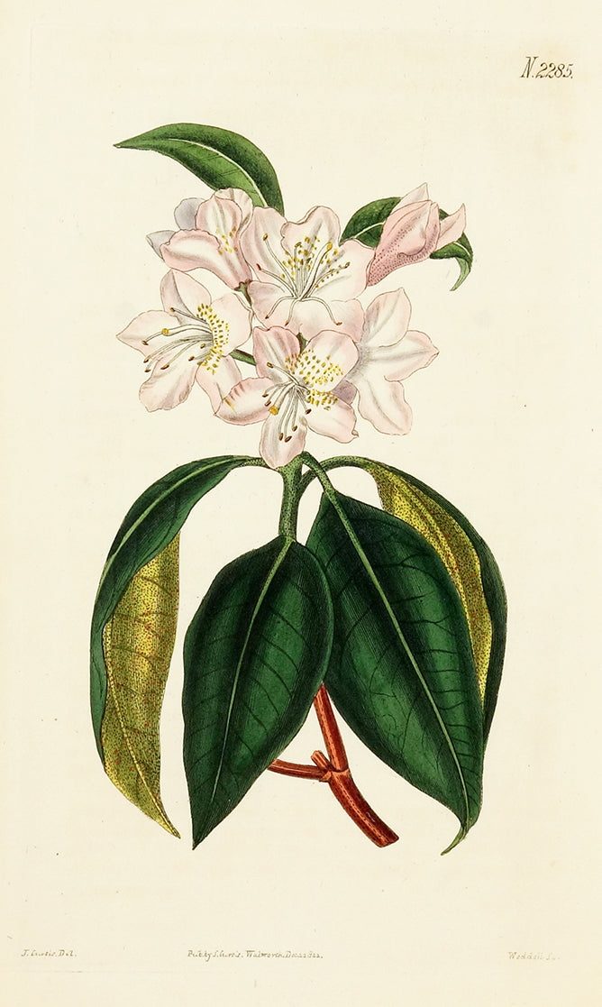 Carolina Dotted-Leaved Rhododendron by Naturalist Prints (Botanicals) - Davidson Galleries