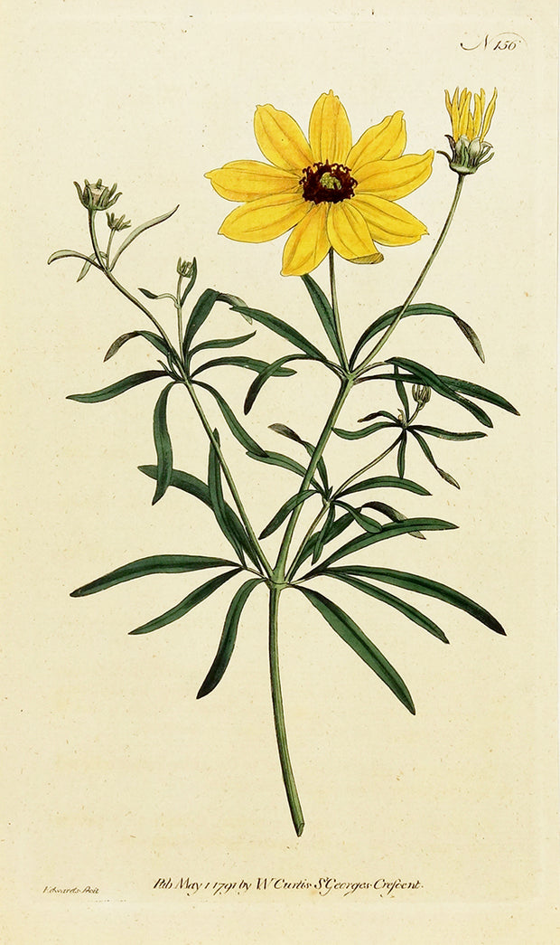 Whorled Coreopsis by Naturalist Prints (Botanicals) - Davidson Galleries