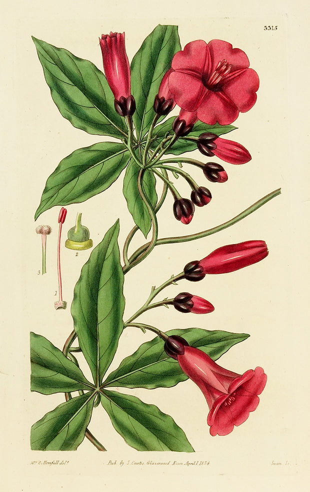 Ipomea Horsfalliae by Naturalist Prints (Botanicals) - Davidson Galleries