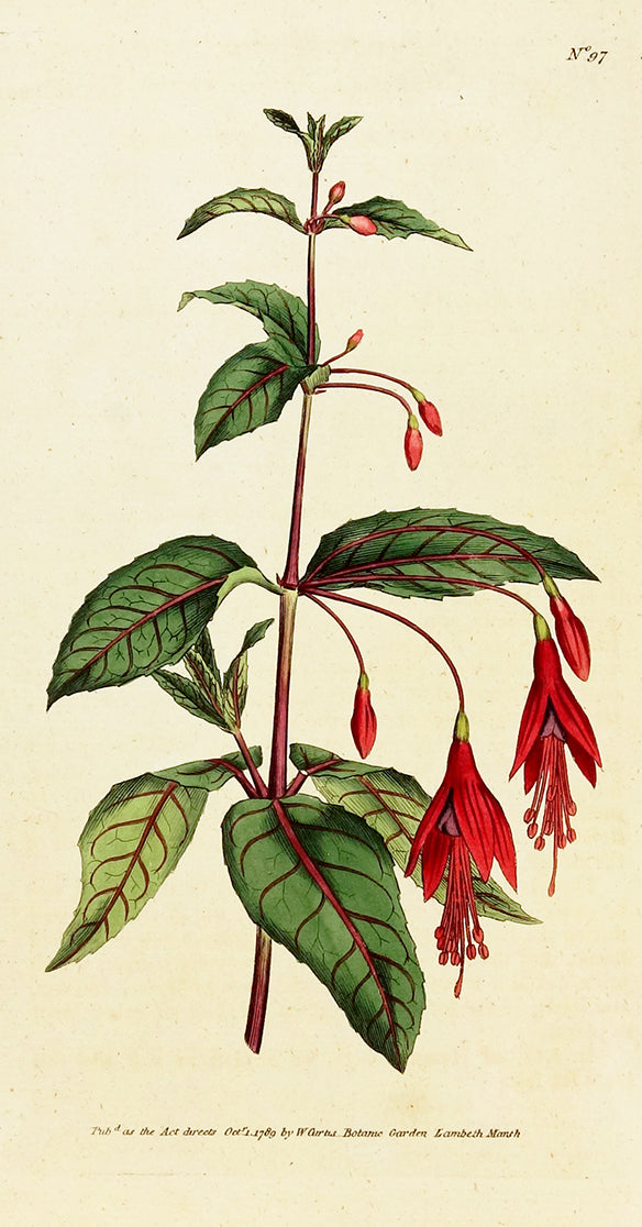 Scarlet Fuchsia by Naturalist Prints (Botanicals) - Davidson Galleries