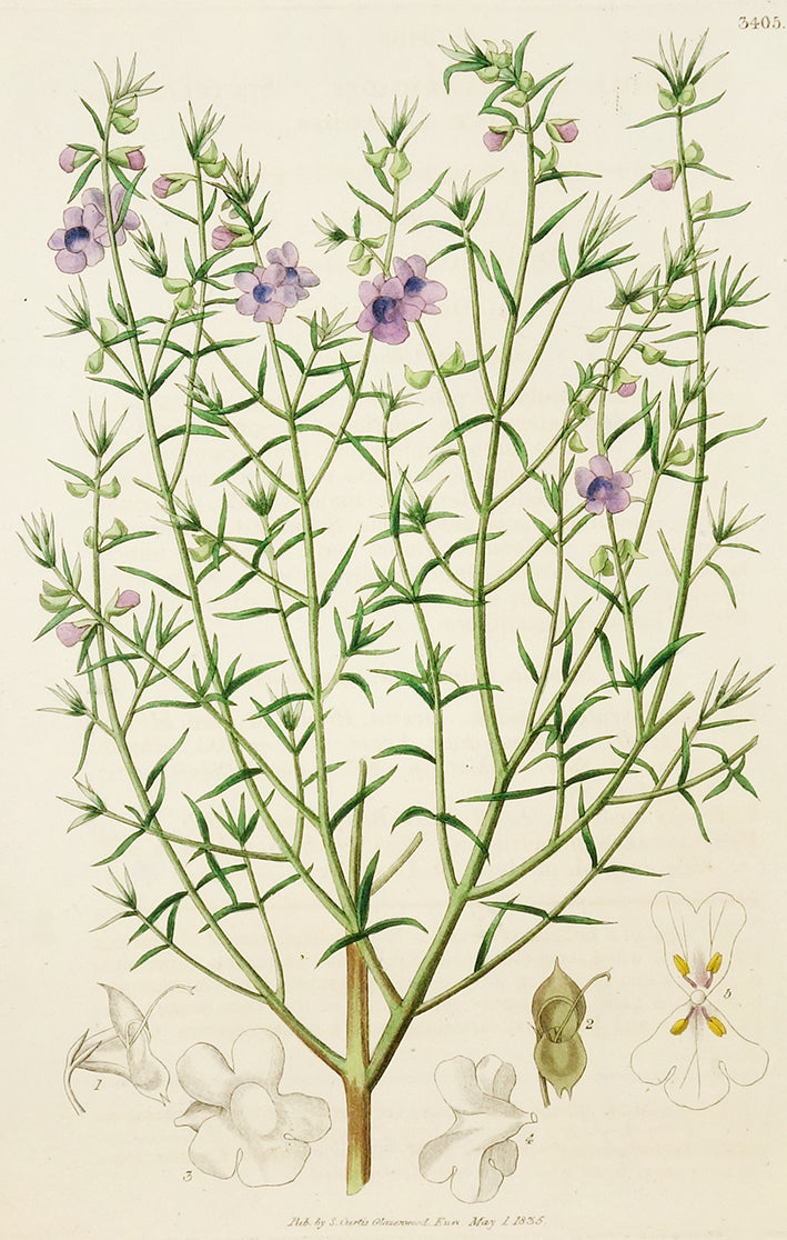 Chilodia Scutellarioides by Naturalist Prints (Botanicals) - Davidson Galleries
