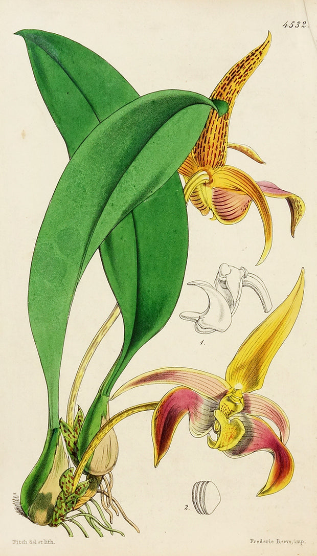 Bulbophyllum Lobbii by Naturalist Prints (Botanicals) - Davidson Galleries