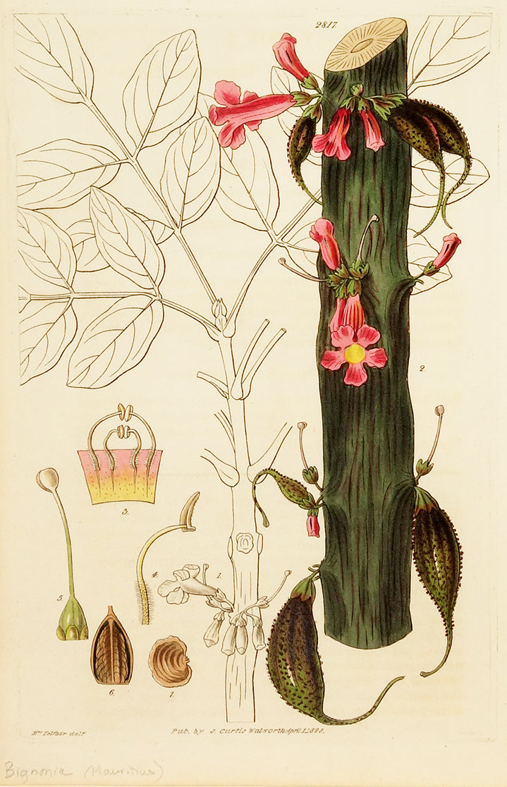 General Cole's Bignonia by Naturalist Prints (Botanicals) - Davidson Galleries