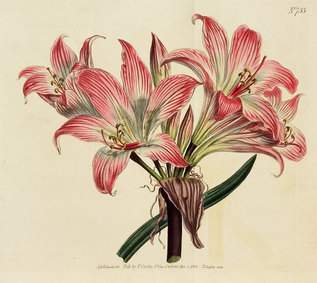 Belladonna Lily by Naturalist Prints (Botanicals) - Davidson Galleries