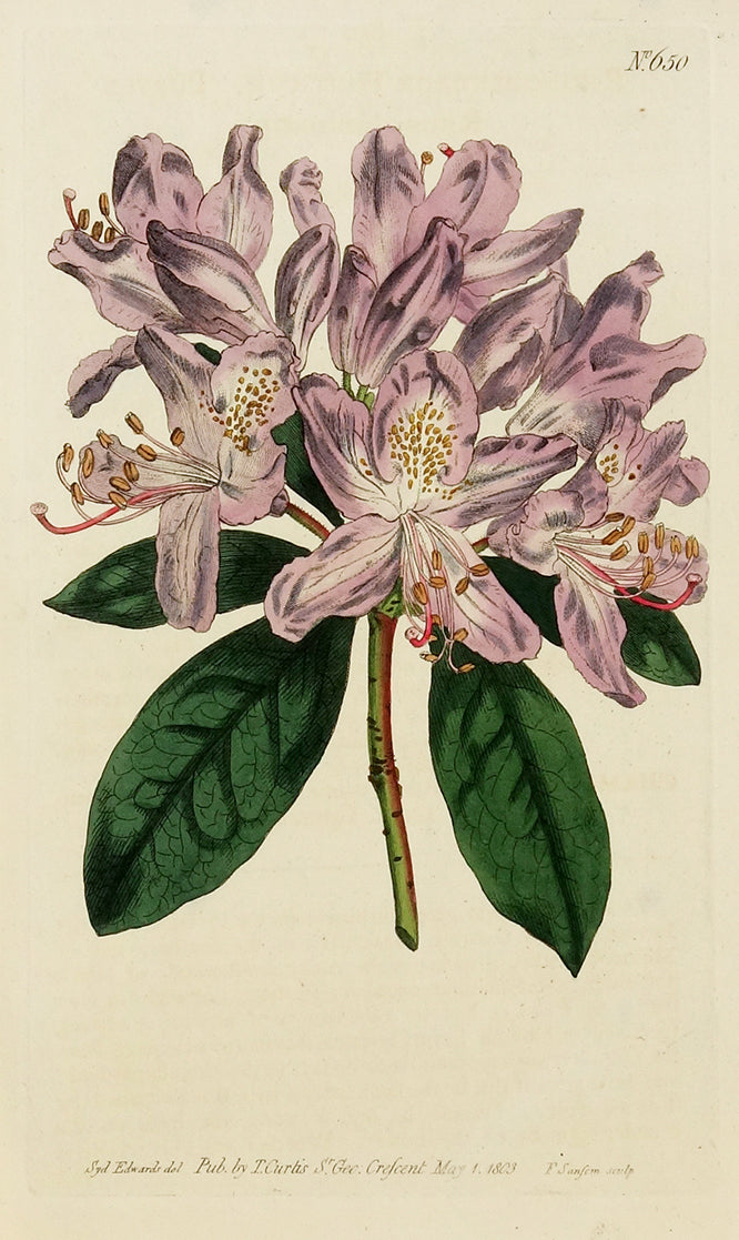 Purple Rhododendron by Naturalist Prints (Botanicals) - Davidson Galleries