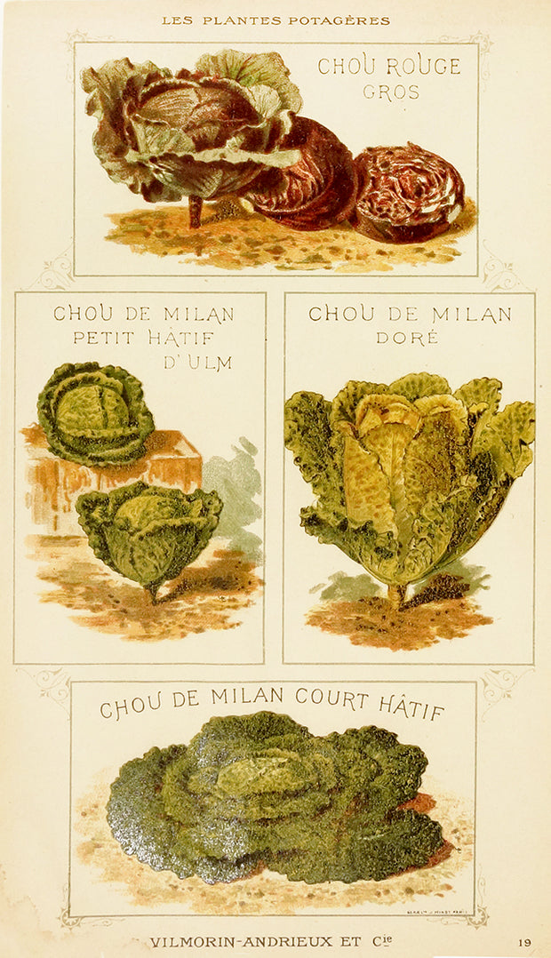 Chou (Cabbage) - Four Types by Naturalist Prints (Botanicals) - Davidson Galleries