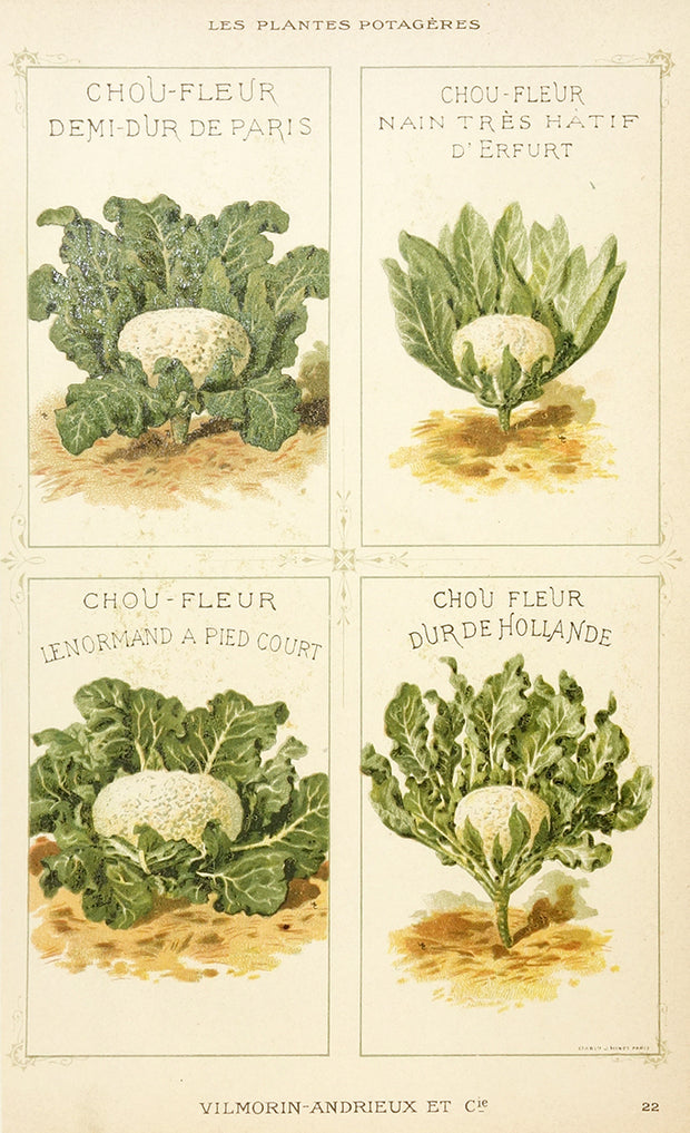 Chou (Cabbage) by Naturalist Prints (Botanicals) - Davidson Galleries