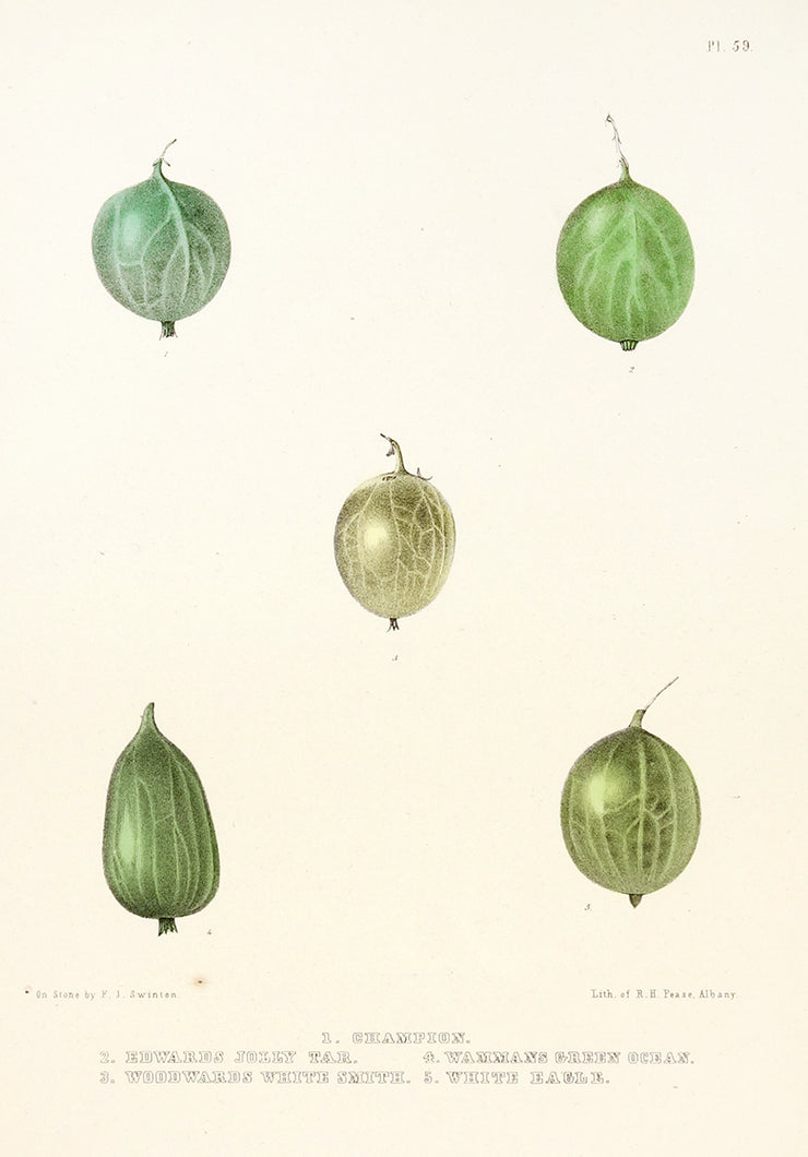 Gooseberries by Naturalist Prints (Botanicals) - Davidson Galleries