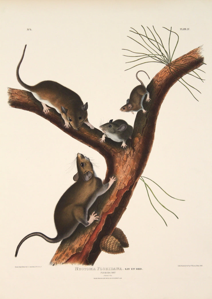Neutoma Floridana, Florida Rat by John James Audubon - Davidson Galleries
