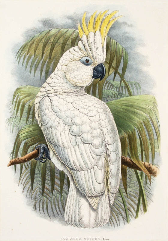 Cacatua Triton, Temm (Triton Cockatoo) by John Gould - Davidson Galleries