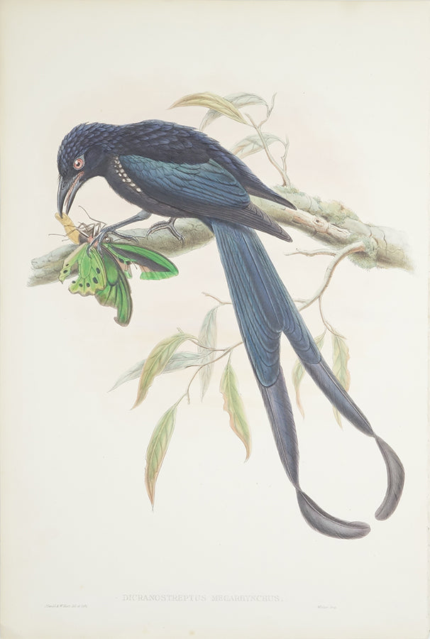 Dicranostreptus Megarhynchus (New-Ireland Drongo) by John Gould - Davidson Galleries