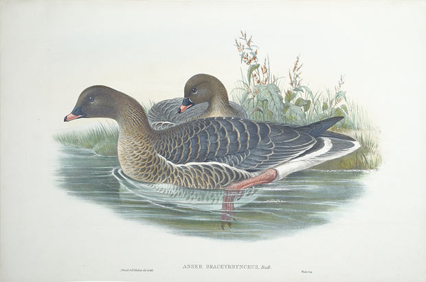 Anser Brachyrhynchus (Pink-Footed Goose) by John Gould - Davidson Galleries