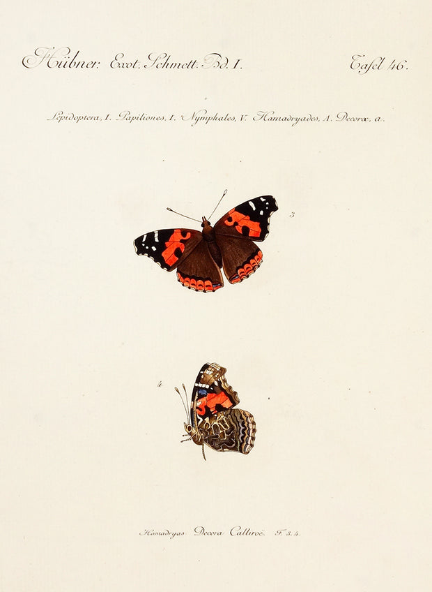 Plate 46: Lepidoptera, Papiliones, Nymphales, Hamadryades, Decorae by Naturalist Prints (Insects & Butterflies) - Davidson Galleries
