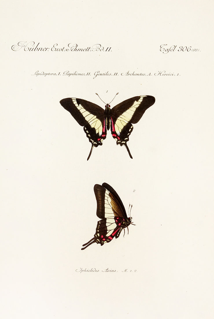 Lepidoptera, Papiliones, Gentiles, Archontes, Heroici by Naturalist Prints (Insects & Butterflies) - Davidson Galleries