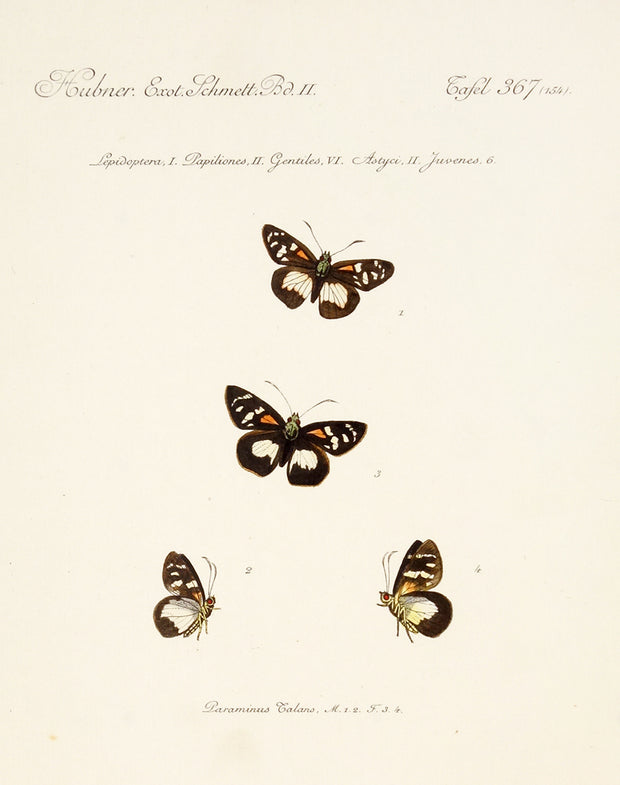 Lepidoptera, Papiliones, Gentiles, Astyci, Juvenes by Naturalist Prints (Insects & Butterflies) - Davidson Galleries