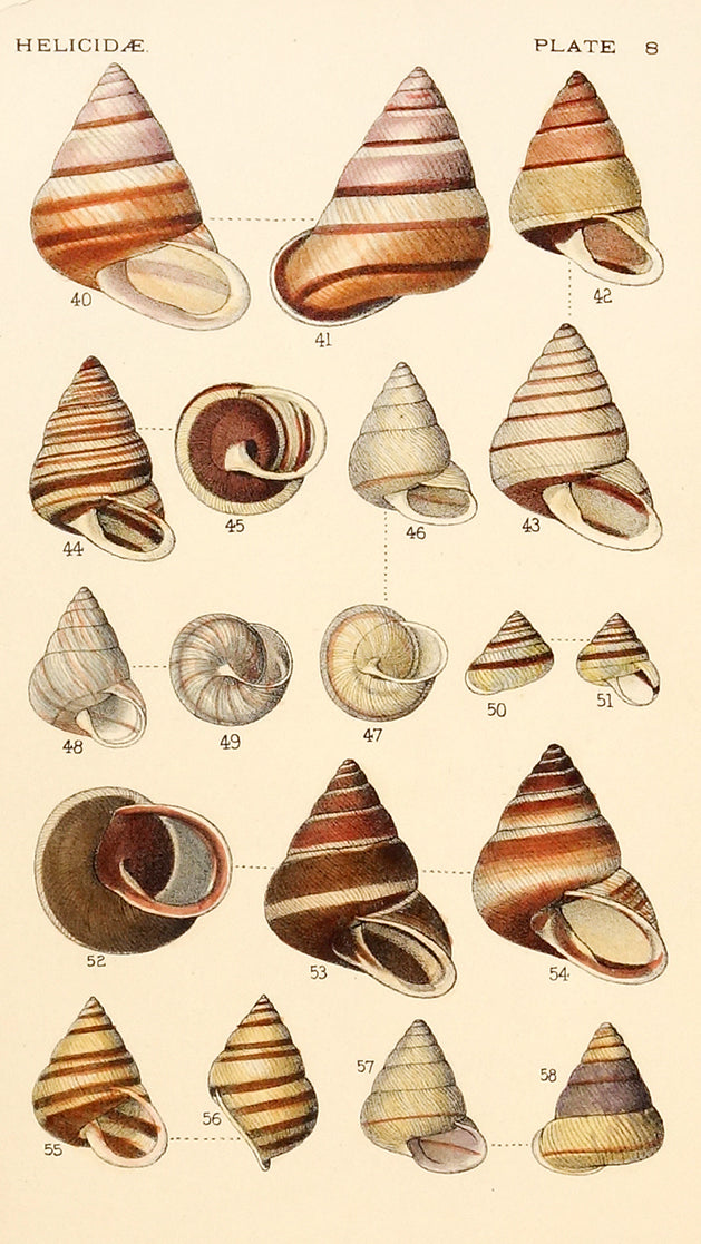 Shells, Helicide by Naturalist Prints (Marine Life) - Davidson Galleries
