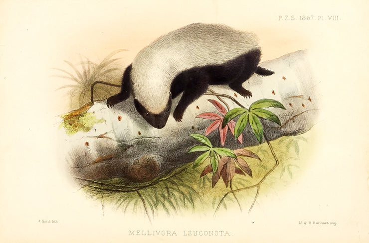 Skunk (Mellivora Lenconota) by Naturalist Prints (Animals) - Davidson Galleries