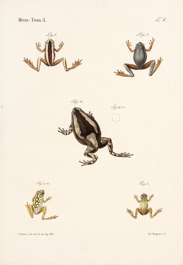 Frog Types by Naturalist Prints (Animals) - Davidson Galleries