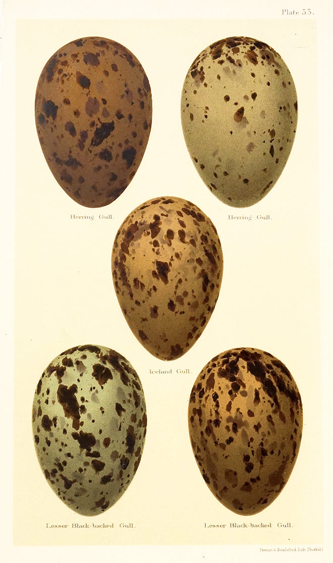 Plate 33: Eggs Of Various Gulls by Naturalist Prints (Birds) - Davidson Galleries