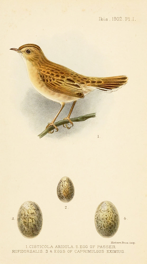 1. Cisticola Aridula 2. Egg of Passer Rufidorsals 3. 4. Eggs of Camprimulgus Eximius by Naturalist Prints (Birds) - Davidson Galleries