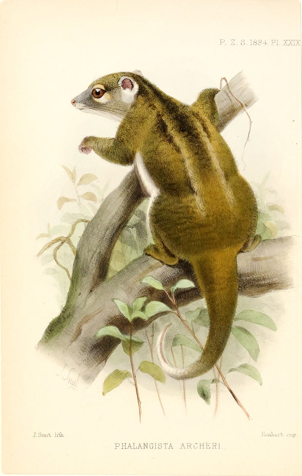 Opposum (Phalangista Archeri) by Naturalist Prints (Animals) - Davidson Galleries