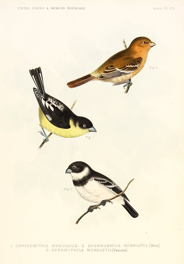 Birds by Naturalist Prints (Birds) - Davidson Galleries