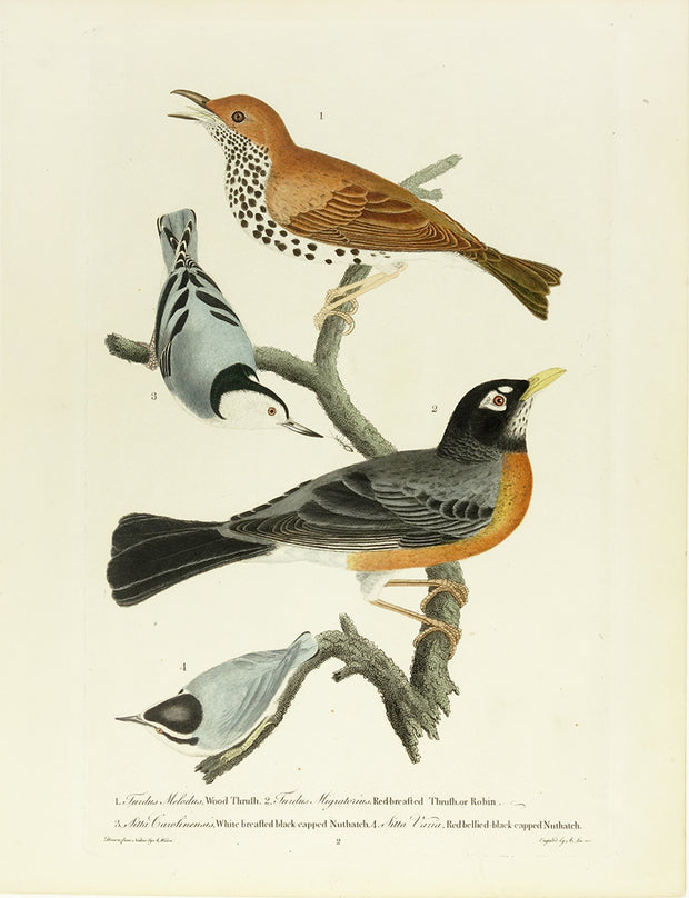Wood Truth, Robin, White…Nuthatch by Naturalist Prints (Birds) - Davidson Galleries