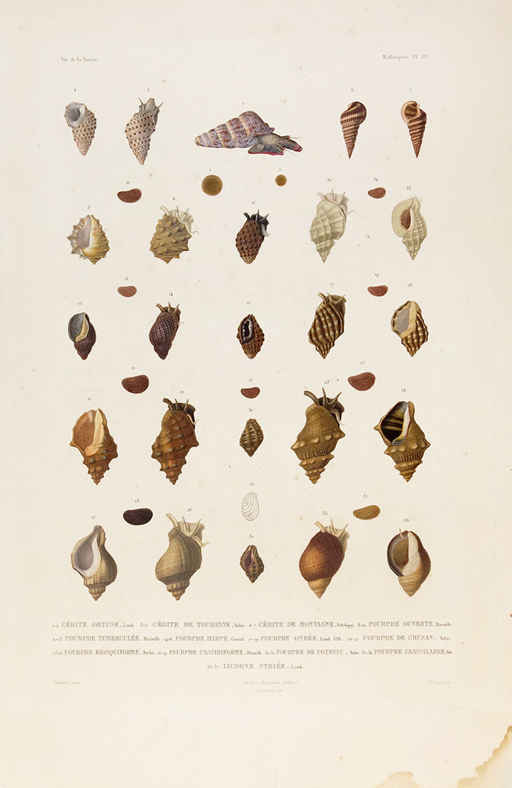 "Shells for Voyage de la Bonite ""Mollusques"" by Naturalist Prints (Marine Life) - Davidson Galleries"