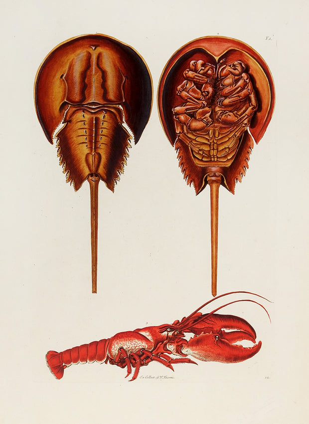 Crabs. Fig. 1. by Naturalist Prints (Marine Life) - Davidson Galleries