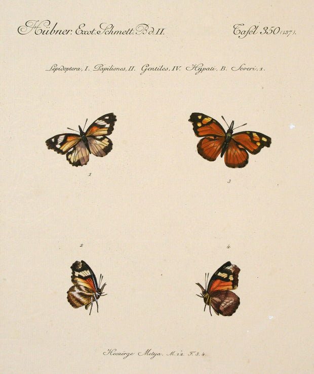Hecaërge Motya (Male and Female) by Naturalist Prints (Insects & Butterflies) - Davidson Galleries