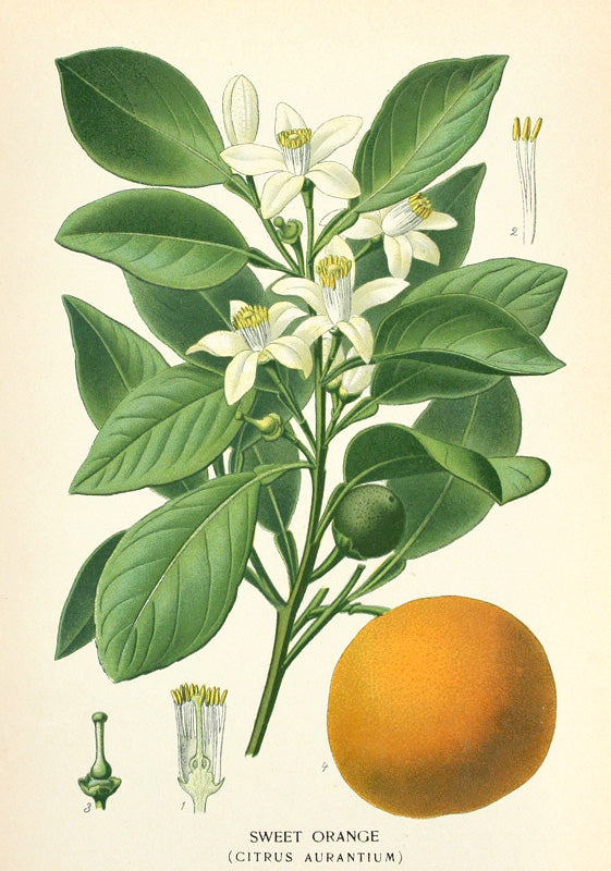 Sweet Orange (Citrus Aurantium) by Naturalist Prints (Botanicals) - Davidson Galleries