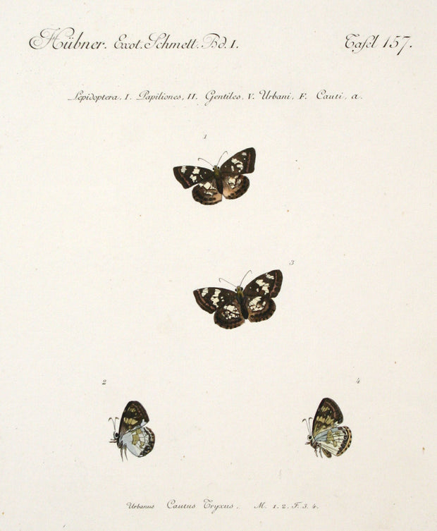 Urbanus Cautus Tryxus (Male and Female) by Naturalist Prints (Insects & Butterflies) - Davidson Galleries