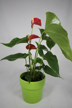 Load image into Gallery viewer, Anthurium